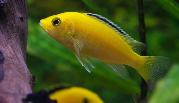 Zierfischliste gelber labidochromis aquariumeinrichten for Zierfische lexikon