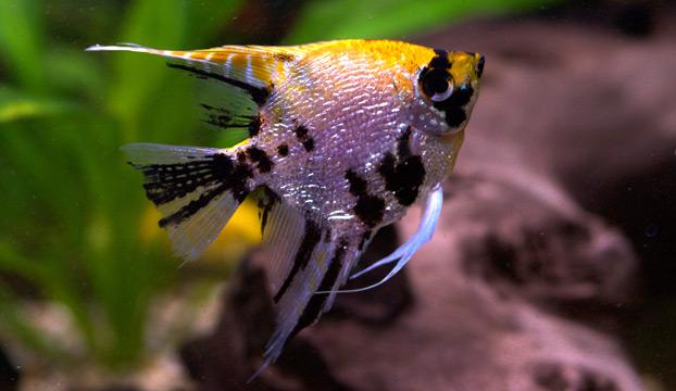 Zierfischliste skalar wie for Skalar aquarium
